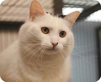 Domestic Mediumhair Cat for adoption in Walla Walla, Washington - Luna
