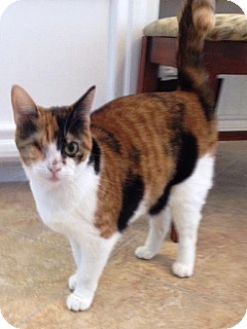 Calico Cat for adoption in Orange, California - Gemini
