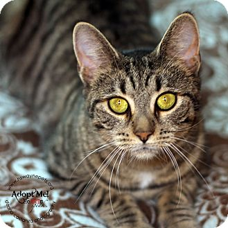 Domestic Shorthair Cat for adoption in Lyons, New York - Laura