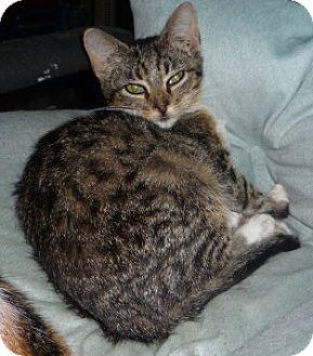 Bengal Kitten for adoption in Dallas, Texas - Lotus