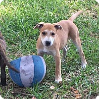 Adopt A Pet :: Mia pup Buster -16 in Brandon Flp - Lithia, FL