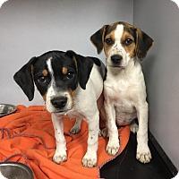 Adopt A Pet :: Noel - Glendale, OH