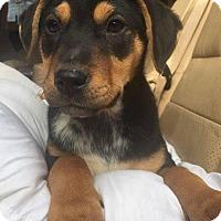 Adopt A Pet :: Jax - Rexford, NY