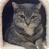 Domestic Shorthair Cat for adoption in Knoxville, Tennessee - Sausha **FREE TO GOOD HOME**