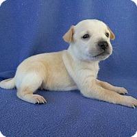 Adopt A Pet :: Cain - Lawrenceville, GA