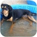 Shepherd (Unknown Type) Mix Puppy for adoption in Gilbert, Arizona - VINNIE
