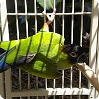 Conure for adoption in Fort Lauderdale, Florida - Kiko
