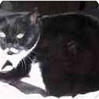 Domestic Shorthair Cat for adoption in North Plainfield, New Jersey - Alexandra
