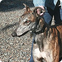 Adopt A Pet :: Brandon - Santa Rosa, CA