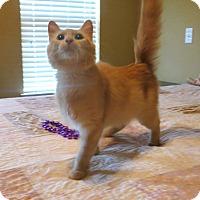 Adopt A Pet :: Shasta - Bentonville, AR