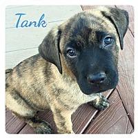 Adopt A Pet :: Tank - San Diego, CA