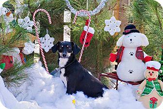 Rat Terrier/Dachshund Mix Dog for adoption in Baton Rouge, Louisiana - Marie