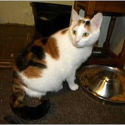 Photo 3 - Calico Cat for adoption in Bartlett, Illinois - Lady Di