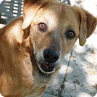 Labrador Retriever Mix Dog for adoption in Ravenel, South Carolina - Justice Joe