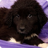 Adopt A Pet :: Naomi PyrMix - St. Louis, MO