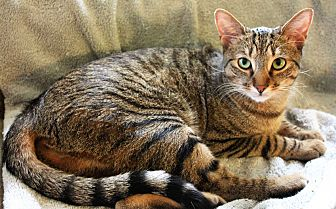 Domestic Shorthair Cat for adoption in Greensboro, North Carolina - Matt