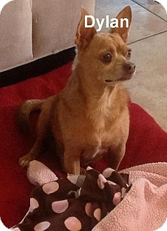 Chihuahua Mix Dog for adoption in Tavares, Florida - Dylan