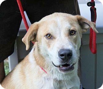 Labrador Retriever/Retriever (Unknown Type) Mix Dog for adoption in Hagerstown, Maryland - Kaleb B ~ Mr. Love bug!