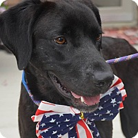 Labrador Retriever Mix Dog for adoption in Lewisville, Indiana - Bobby