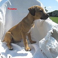 Adopt A Pet :: Panama - Glastonbury, CT