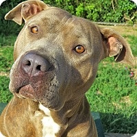 Pit Bull Terrier Mix Dog for adoption in West Babylon, New York - Bubbles