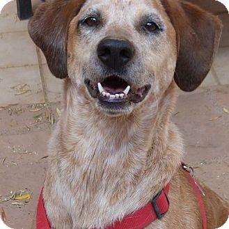 Australian Cattle Dog/Hound (Unknown Type) Mix Dog for adoption in Clarkdale, Arizona - Lily Bean