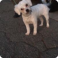 Adopt A Pet :: Ziggy - Alhambra, CA