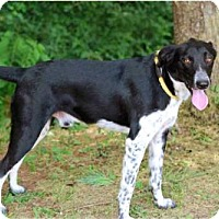 Border Collie/Labrador Retriever Mix Dog for adoption in richmond, Virginia - CASH