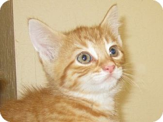 Domestic Shorthair Kitten for adoption in San Jose, California - Einstein