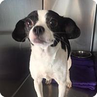 Adopt A Pet :: Daisy - Westminster, CA