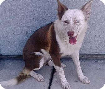 Border Collie/Australian Shepherd Mix Dog for adoption in Vacaville, California - Fiona