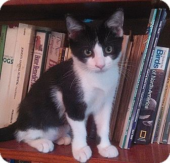 Domestic Shorthair Kitten for adoption in Tampa, Florida - Oreo