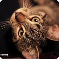 Domestic Shorthair Kitten for adoption in Toronto, Ontario - Germaine