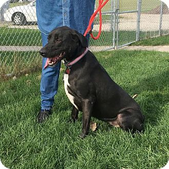Labrador Retriever Mix Dog for adoption in Huntley, Illinois - Lucy