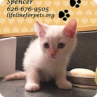 Siamese Kitten for adoption in Monrovia, California - A Baby: SPENCER
