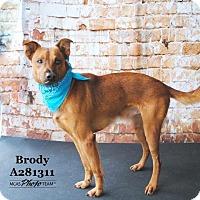 Adopt A Pet :: BRODY - Conroe, TX