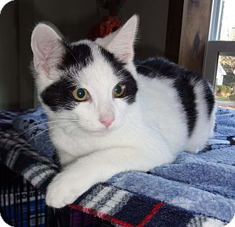 Domestic Shorthair Kitten for adoption in N. Billerica, Massachusetts - Adam