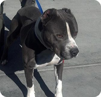 Staffordshire Bull Terrier Mix Dog for adoption in San Diego, California - Cleveland URGENT