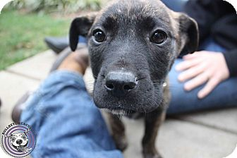 American Pit Bull Terrier/Labrador Retriever Mix Puppy for adoption in Atlanta, Georgia - Alejandro
