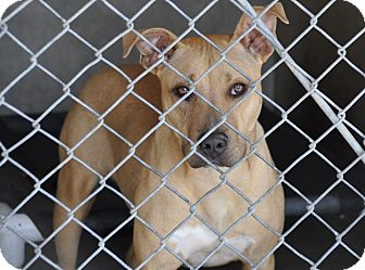 Pit Bull Terrier Mix Puppy for adoption in San Diego, California - Corey URGENT