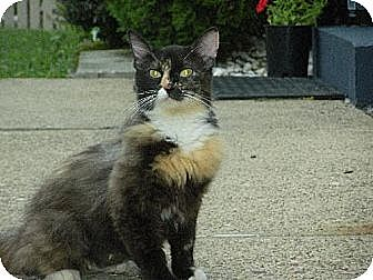 Domestic Mediumhair Cat for adoption in Lyndora, Pennsylvania - COCO RE-11