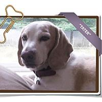 Adopt A Pet :: Tater - Portland, OR