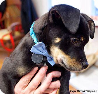 Boxer/Labrador Retriever Mix Puppy for adoption in Nashville, Tennessee - Monty