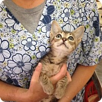 Adopt A Pet :: Toffee - Fort Collins, CO