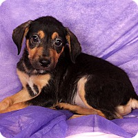 Adopt A Pet :: Harley LabShep - St. Louis, MO