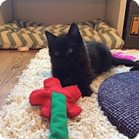 Domestic Mediumhair Kitten for adoption in Chesapeake, Virginia - Jaxson