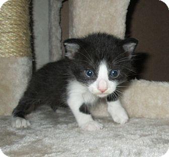 Domestic Shorthair Kitten for adoption in San Bernardino, California - Fisher