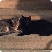Domestic Shorthair Cat for adoption in Palatine, Illinois - Marley and Blackie (bonded pai