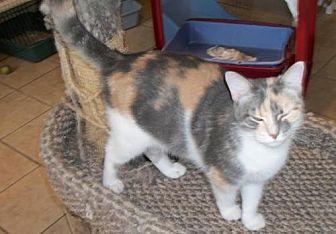 Calico Cat for adoption in Lacon, Illinois - Linkel