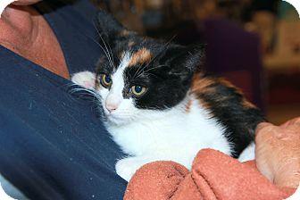 Domestic Shorthair Kitten for adoption in Rochester, Minnesota - Shasta